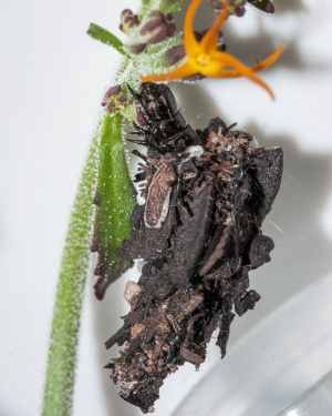 Swartdam bagworm, currently being reared